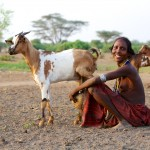 Abore woman milking goat