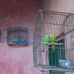 Caged Birds, Argentina