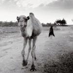 Camel - Arraro, Ethiopia