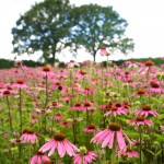 Echinacea Field, Herefordshire