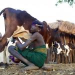 Oligidane - Mursi boy milking - colour. (Ker Gano's son)