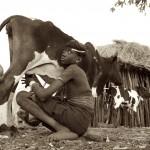 Oligidane Milking a Cow