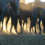 Polo Ponies, Argentina