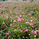 Damask Rose Field - Isparta, Turkey