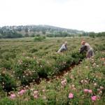 Rose Harvest - Isparta, Turkey