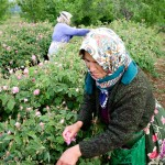 Rose harvester, Isparta, Turkey
