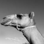 Camel, Samburu