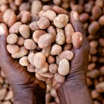 Shea butter nuts in hands