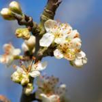 Fruit Blossom, England