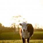 Hereford Cow, England