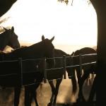 Argentina Polo Ponies 1