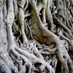 Fig Tree Roots, Gondar, Ethiopia