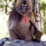 Gelada monkey, Simien Mountains, Ethiopia