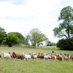 The diary goats live on the open pasture