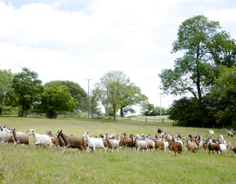 Hill Farm Dairy, Somerset, England – Dairy Goats