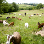 Dairy goats graze and forage as Will approaches