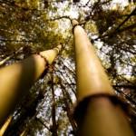 Bamboo Thicket Sabyinyo, Rwanda