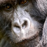 Black Back Agashya Mountain Gorilla Group