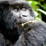 Black Back Male Agashya Mountain Gorilla Group