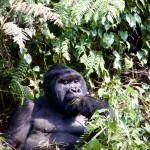 Cogitating Silverback Mountain Gorilla Agashya Group