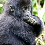 Contemplative younger member or Agashya Mountain Gorilla Group