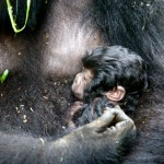 Mother holds her newborn Mountain Gorilla, Agashya Group