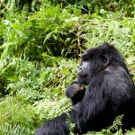 Reflective Silverback Agashya Mountain Gorilla Group