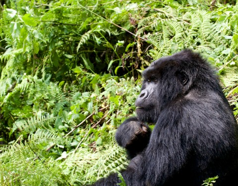 Mountain Gorillas – Virunga, Rwanda. March '16