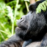 Silverback Mountain Gorilla Agashya Group