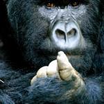 Silverback Mountain Gorilla Portrait, Rwanda