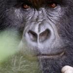 Silverback Mountain Gorilla Portrait 3 Kwitonda Group