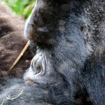 Silverback Mountain Gorilla profile  Kwitonda Group