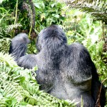 Silverback Mountain Gorilla rear view Kwitonda Group