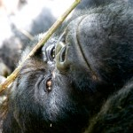 Silverback Mountain Gorilla reclining Kwitonda Group