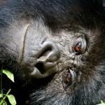 Silverback Mountain Gorilla relaxing Kwitonda Group