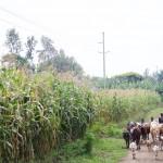 WaArusha & Livestock