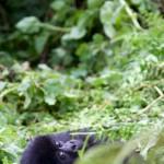 Young Mountain Gorilla gorilla Agashya Group