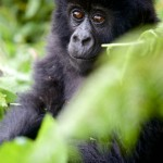Youngster Agashya Mountain Gorilla Group