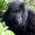 Female Mountain Gorilla, Kwitonda Group