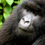 Kwitonda Mountain Gorilla, Rwanda