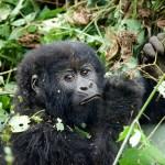 Young Gorilla, Kwitonda Goup