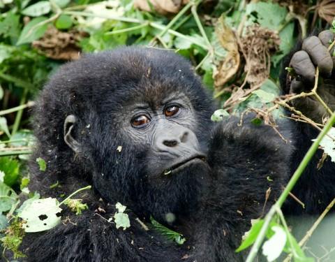 Mountain Gorillas – Virunga, Rwanda. March '16